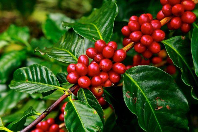 Кофейная ветвь
