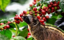 Кофе Копи Лювак (Kopi Luwak)