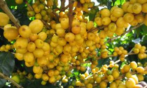 Необычный сорт кофе Желтый Бурбон